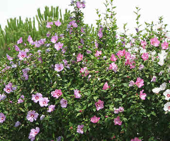 hibiscus syriacus plantation entretien et taille. Black Bedroom Furniture Sets. Home Design Ideas