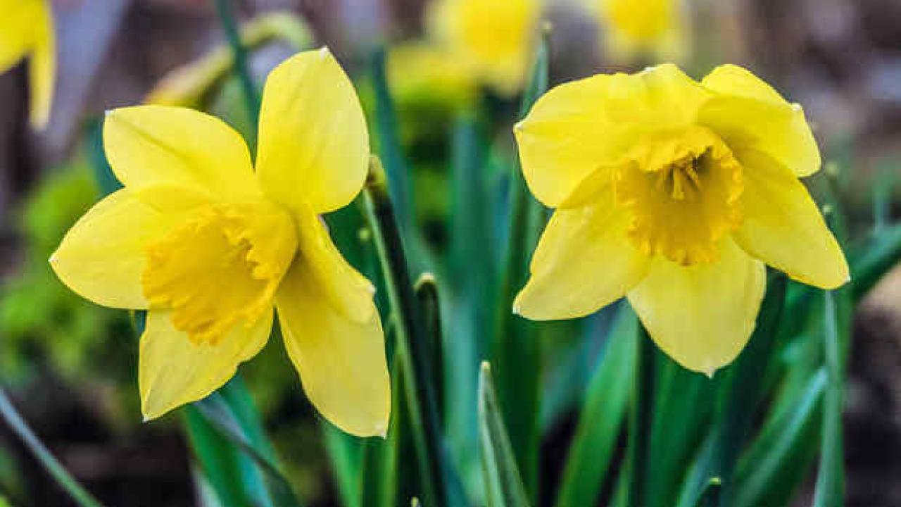 Doit On Deterrer Les Oignons De Tulipes jonquille : plantation et entretien des fleurs de saison