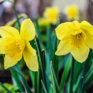 jonquilles des fleurs magnifiques - Fleur Jonquille