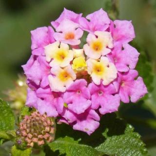 Lantana en fleur