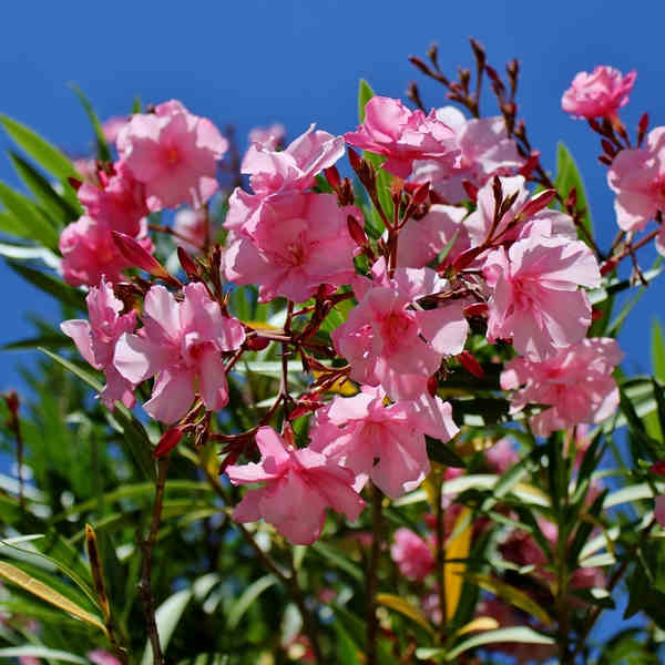 Oleander, the South brings sun to the garden