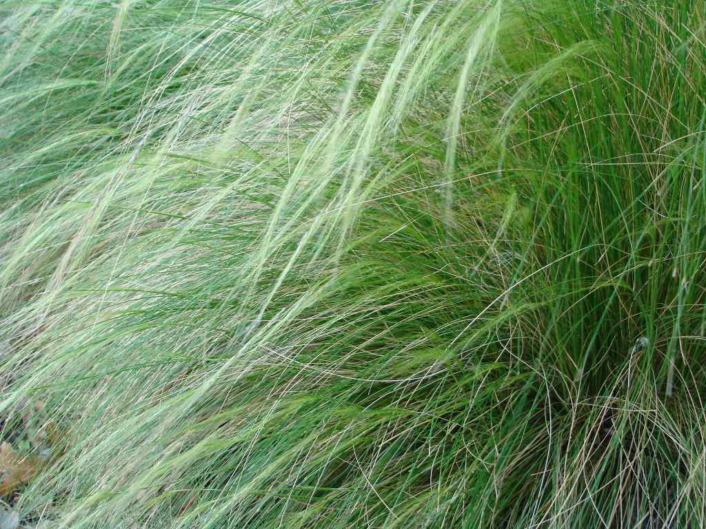 """Mexican feather grass """"Pony tails"""""""