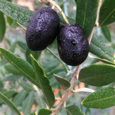 Olive tree, the Mediterranean comes to the garden