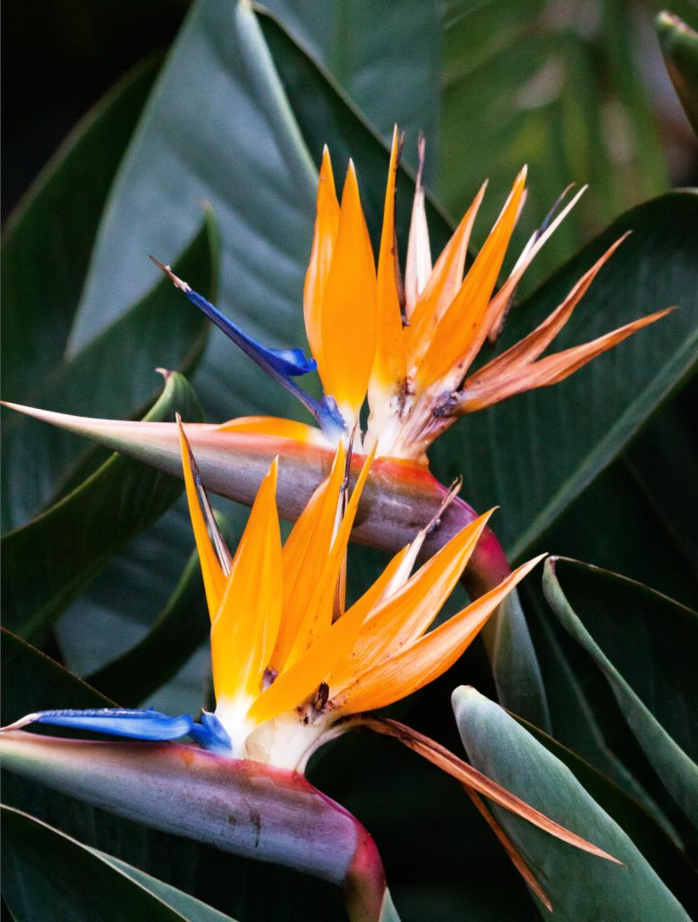 Two yellow and blue strelitzia blooms against a deep green leaf.