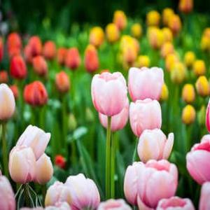 Tulipe plantation et conseils d 39 entretien des tulipes - Planter des tulipes en mars ...