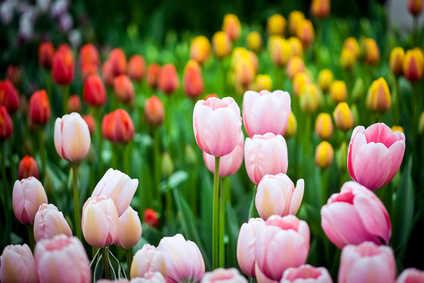 Tulipe bulbe