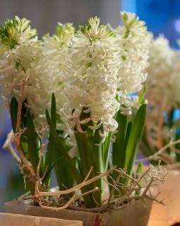 jacinthe white pearl en pot