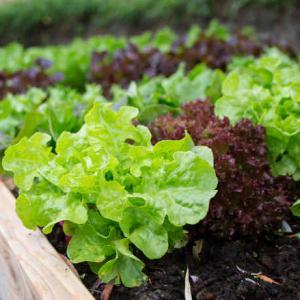 Laitue culture r colte et conseils d 39 entretien for Entretien salade jardin