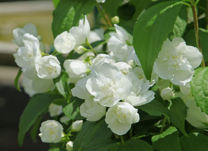 Mock-orange, beautiful flowering shrub