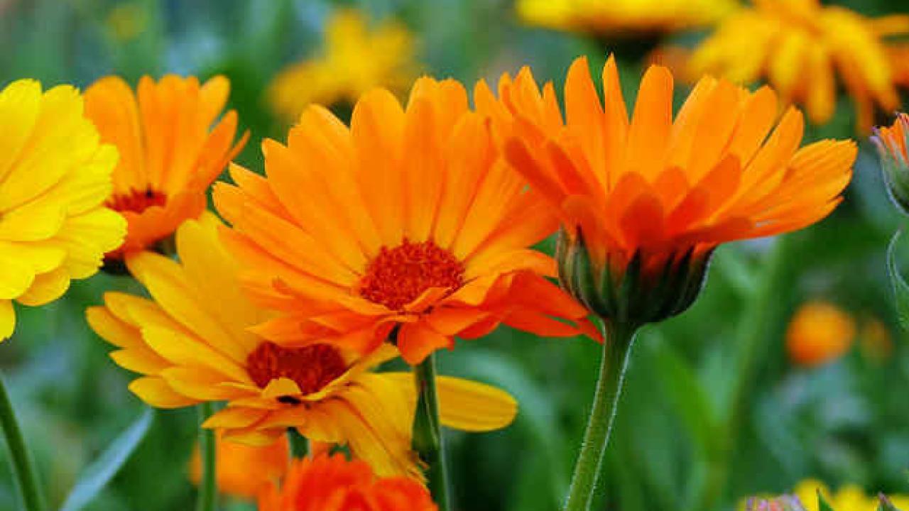 Souci : semis et entretien des fleurs au fil des saisons.