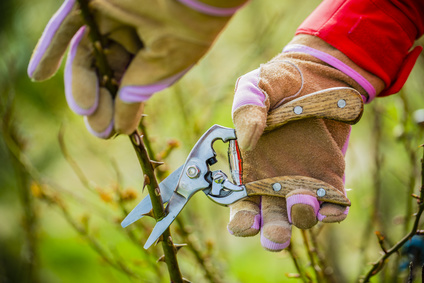 Pruning rose trees, when and how to do it