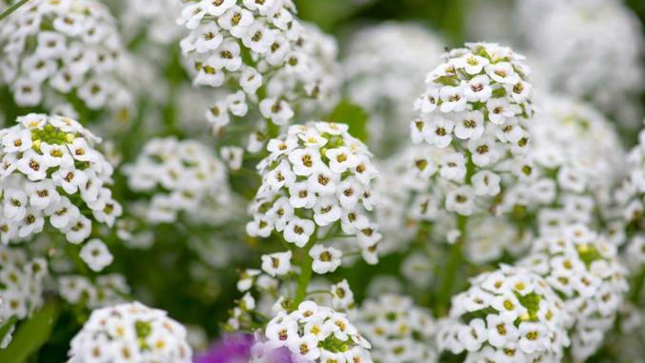 Alysse odorante : semis et conseils d'entretien de saison