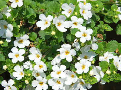 Bacopa Advice On Growing And Caring For It From Planting