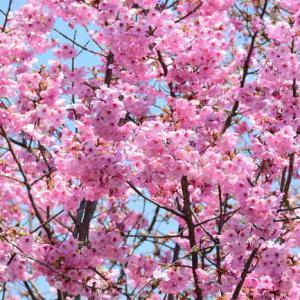 Japanese cherry tree planting pruning and care japanese cherry tree simply beautiful mightylinksfo
