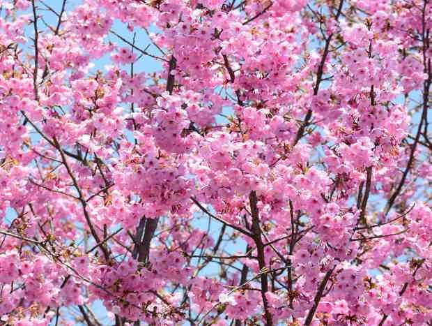 Cerisier du japon plantation taille et conseils d 39 entretien - Arbre pour jardin japonais ...