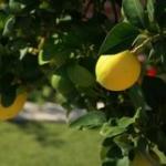 citronnier maladie