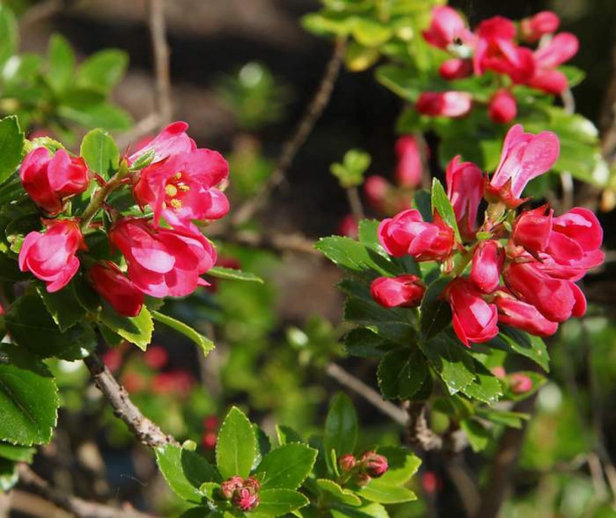 Escallonia : plantation, taille et entretien de l'escallonia