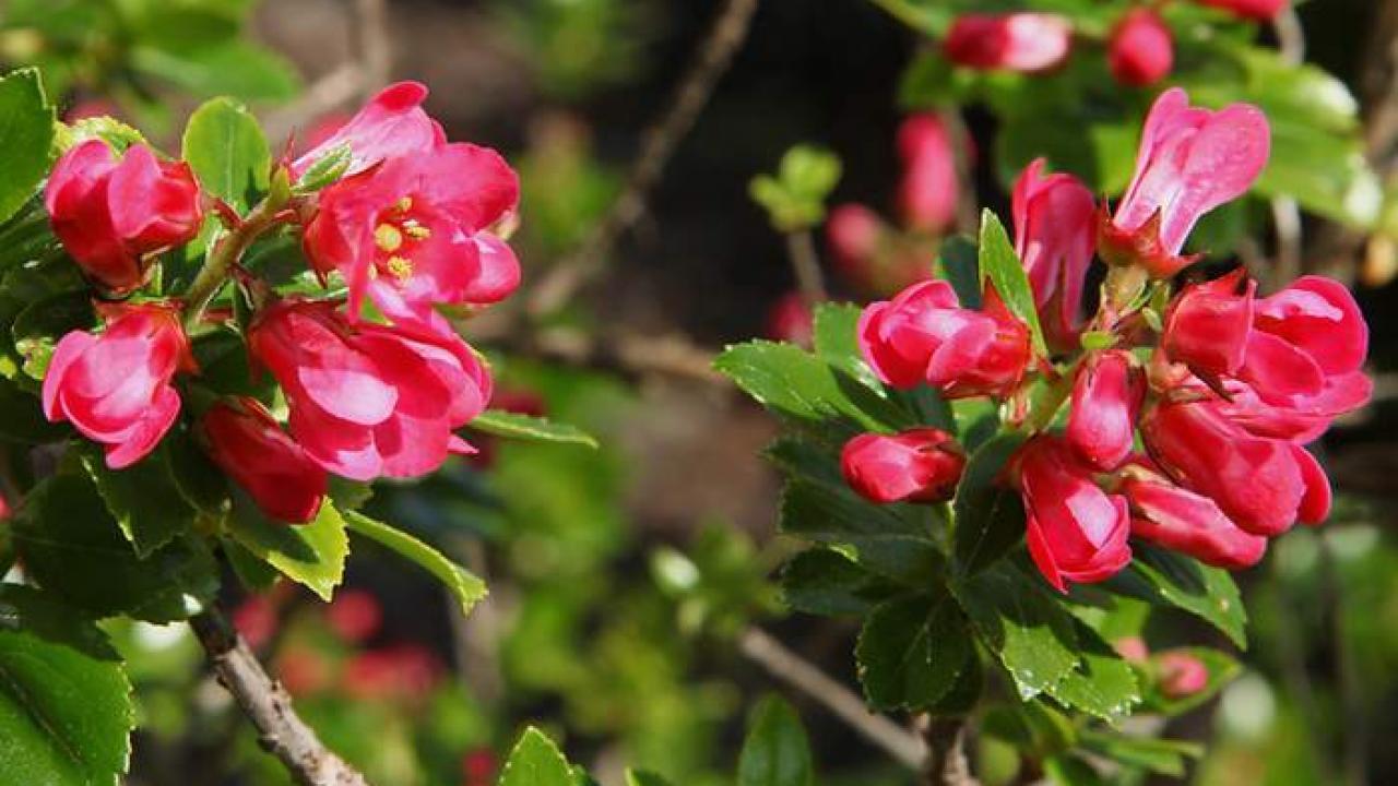 Arbuste Persistant En Pot Plein Soleil escallonia : plantation, taille et entretien de l'escallonia