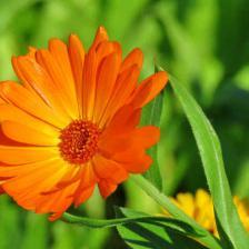 fleur utile potager