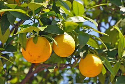 Oranger Plantation Taille Entretien Et Recolte De Saison