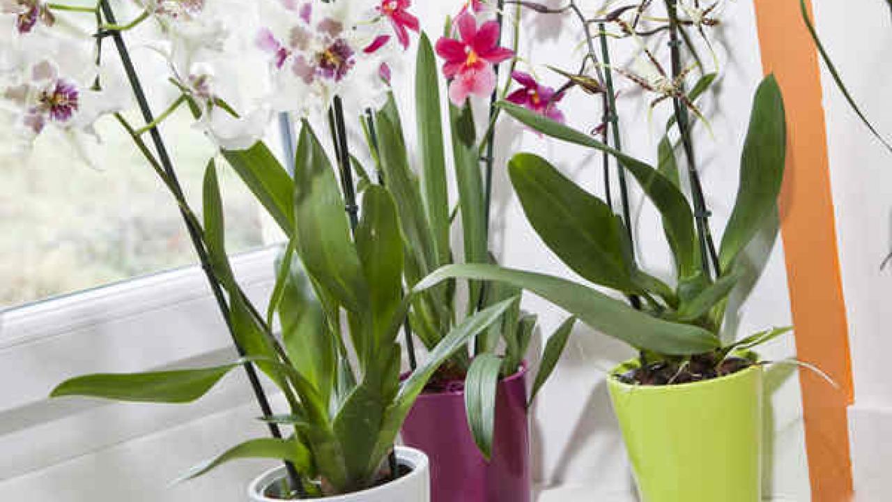 Comment S Occuper D Un Orchidée orchidée cambria : tous les conseils d'entretien