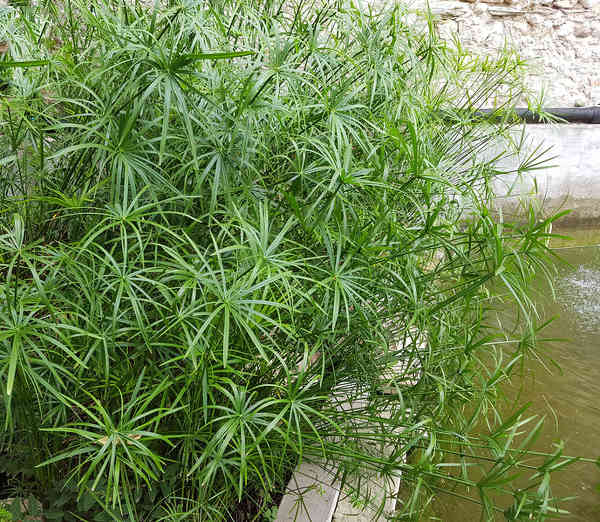 Papyrus sedge or cyperus, plants for water