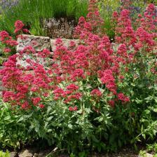 Centranthus ruber - lilas Espagne