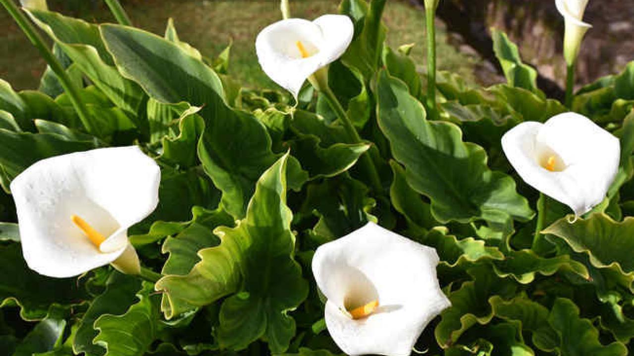 Faut Il Couper Les Lys Après Floraison arum : plantation, floraison et conseils d'entretien