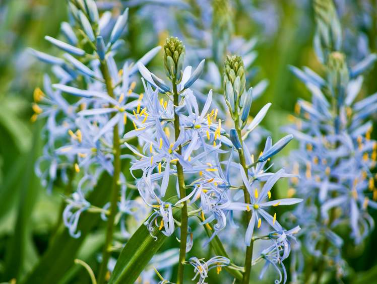 Camas Tips And Guidance To Care For Them Best