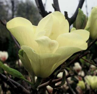 couleurs du magnolia