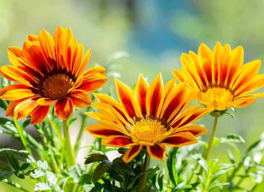 Cette jolie vivace cultivée en général comme une annuelle a de très belles  fleurs colorées dans les teintes jaunes, oranges et aux formes très bien
