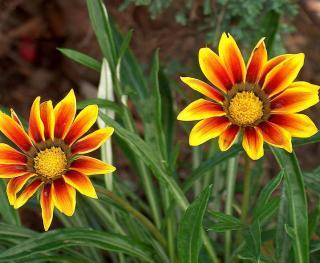 gazania fleur