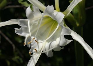 ismene Hymenocallis