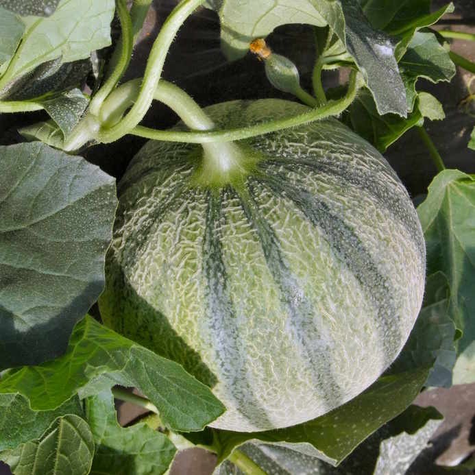 Growing melon, what you need to know