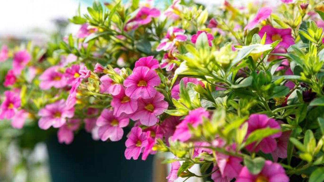 Graines De Fleurs Qui Poussent Très Vite pétunia : conseils d'entretien pour une belle floraison