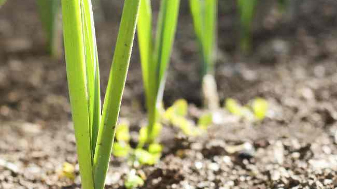 Que Planter En Octobre Sous Serre poireau : semis, culture, et récolte des poireaux