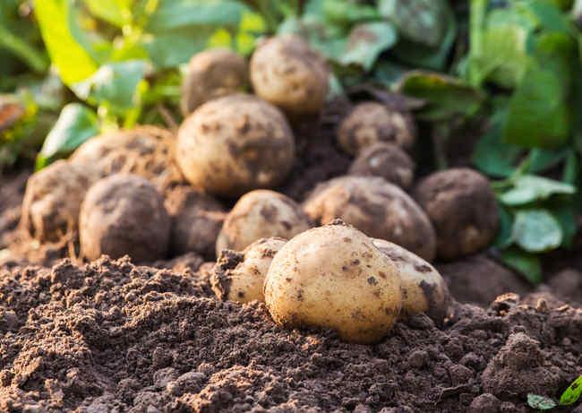 Pomme de terre plantation culture r colte et maladies - Recolte des pommes de terre ...