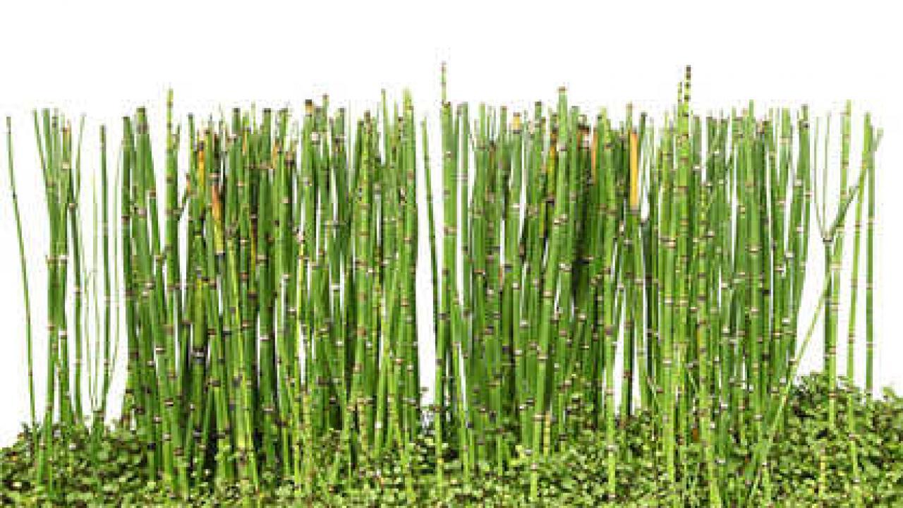 Comment Se Débarrasser Des Bambous Dans Le Jardin prêle : culture, plantation et entretien