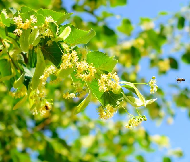 Lime tree or basswood, elegant and productive
