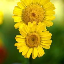 Anthemis, beautiful and abundant