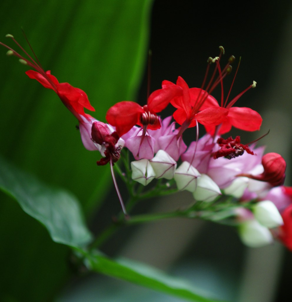 Wonderful red and white clerodendron.