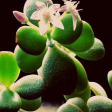 Crassula, the family of the famous Jade tree
