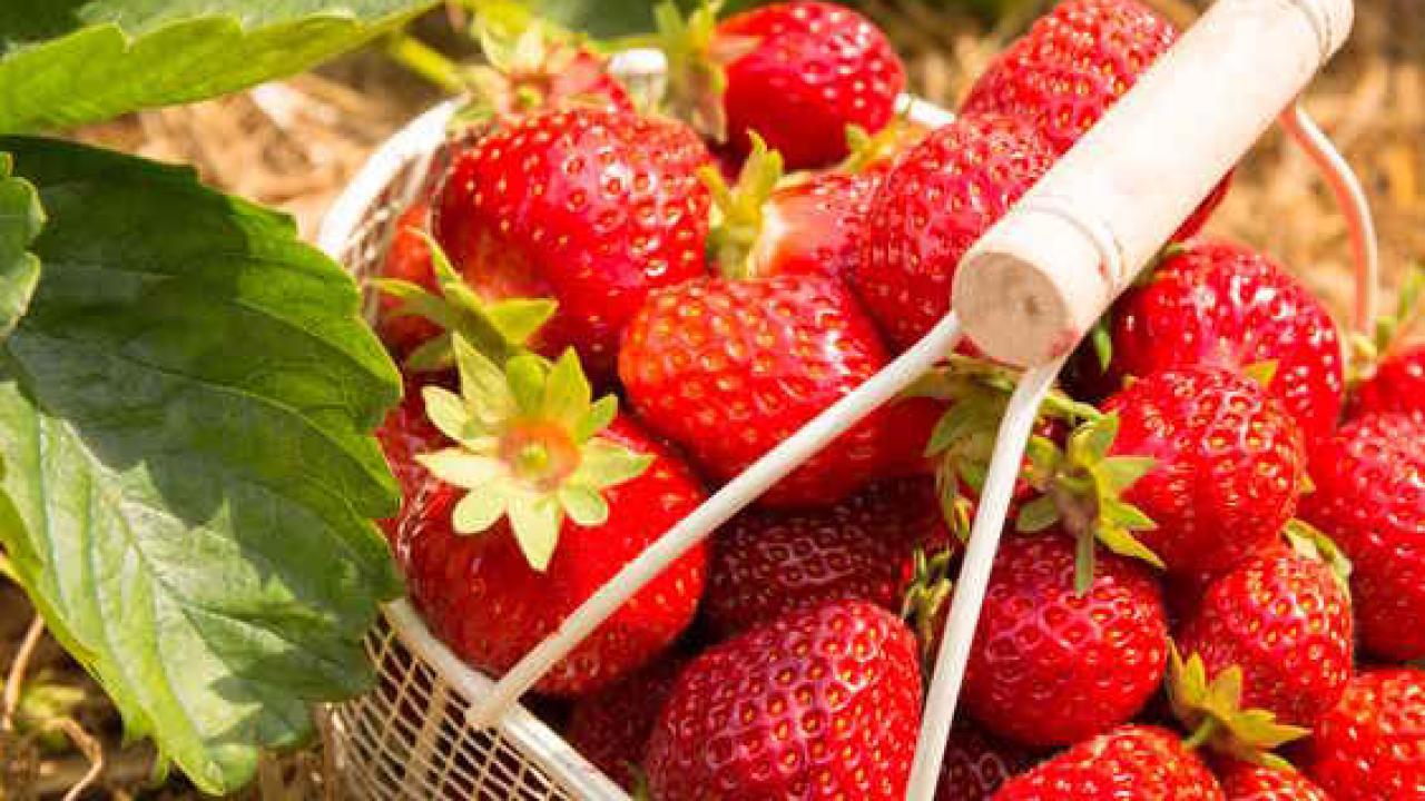 Comment Entretenir Les Fraisiers En Automne fraisier : plantation, culture et conseils d'entretien