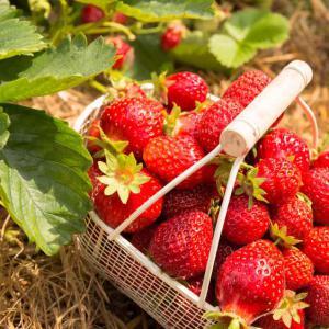 Fraisier plantation et conseils d 39 entretien conseils for Plantation fraisier