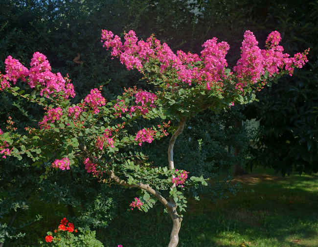 Lagerstroemia – a very ornamental tree