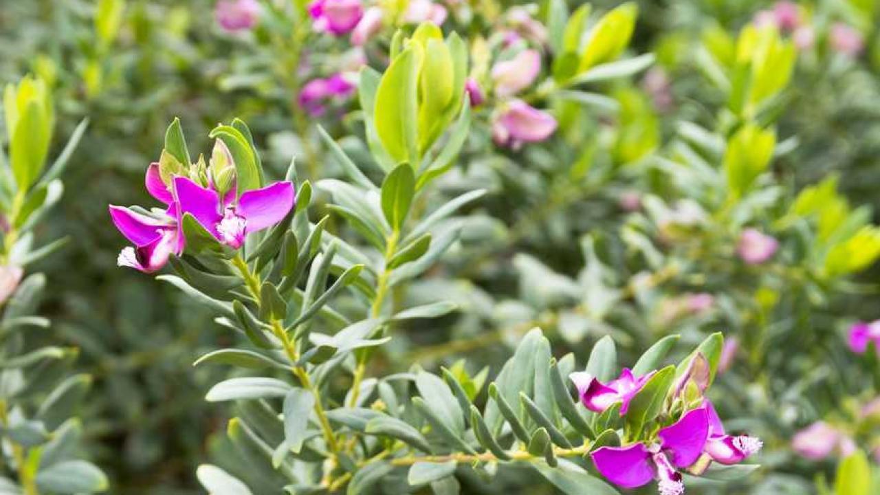 Arbuste Persistant En Pot Plein Soleil polygala : conseils de culture, entretien et taille