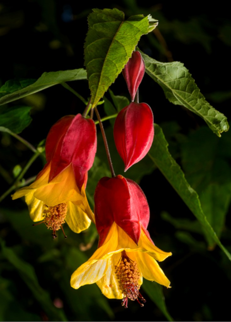 Abutilon, an indoor maple