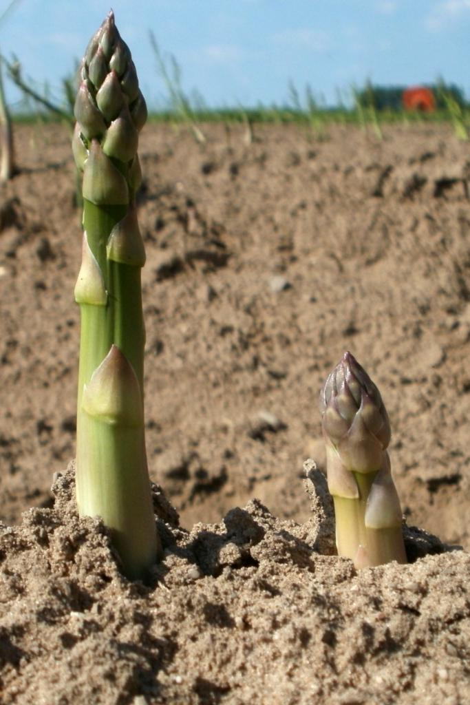 Two asparagus shoots coming up from a ridge in a field.