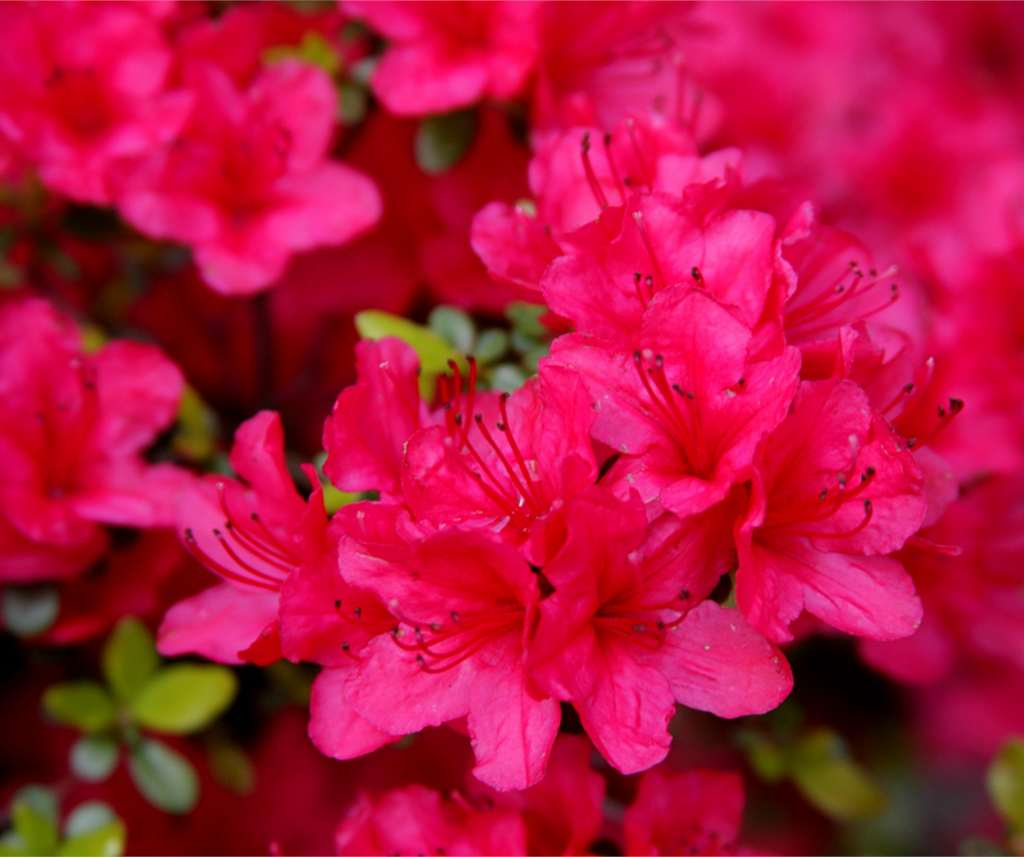 Bright pink blossoms cover an Azalea japonica with a few bright green leaves.