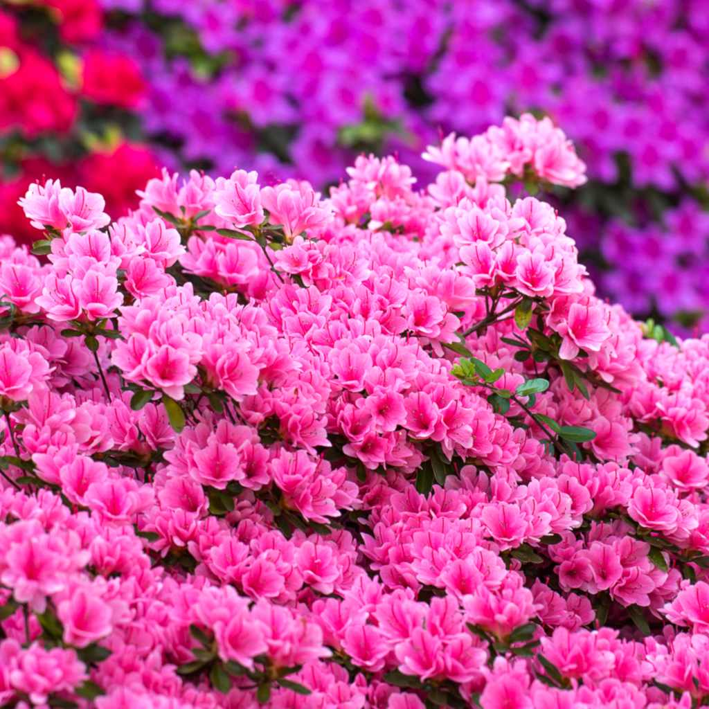 Azalea Planting Advice And Care For This Spring Bloom Studded Shrub